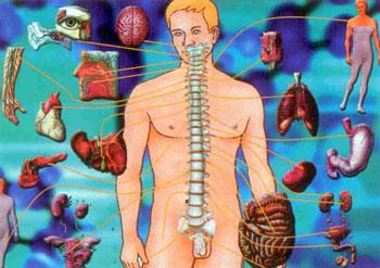 Органы и позвоночник
